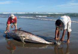 Experts measure a dead dolphin lying on a beach on the northern coast of Peru