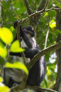 'Extinct' monkey rediscovered in Borneo by new expedition