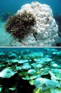 Global warming threat to coral reefs: Can some species adapt?