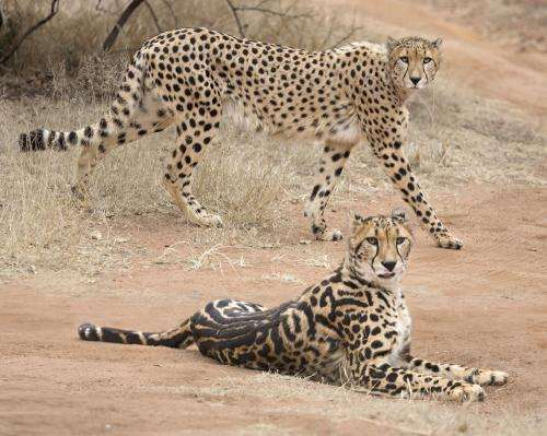 How the cheetah got its stripes--a genetic tale