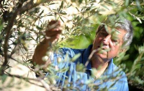 Malta's Bidni olives had nearly become extinct before Sam Cremona began his quest