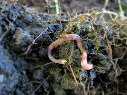 Mediterranean earthworm species found thriving in Ireland as global temperatures rise