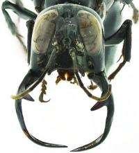 Megalara garuda: the King of Wasps