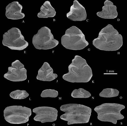 Middle Miocene Ochotonids found from Siziwang Qi, Nei Mongol