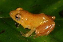 New frog species from Panama dyes fingers yellow