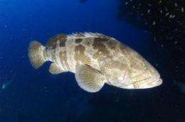 One-quarter of grouper species being fished to extinction