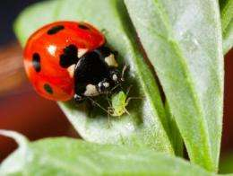 Redder ladybirds more deadly, say scientists