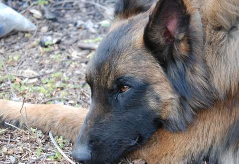 Scat-sniffing dog helps save endangered primates