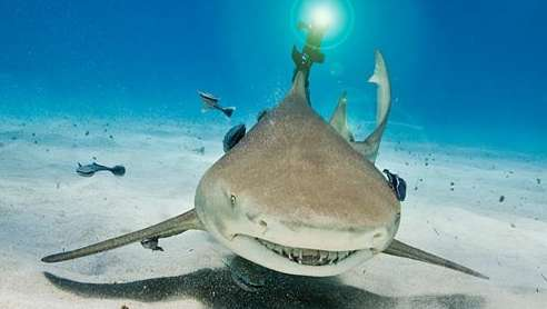 Beamed-up lemon shark shows research promise (w/ Video)