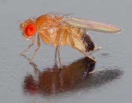 Study of fruit fly chromosomes improves understanding of evolution, fertility