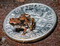 The battle to identify the world's smallest vertebrate