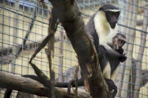There are fewer than 200 Roloway monkeys remaining in the wild and only 27 in captivity