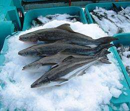 Researchers find reducing fishmeal hinders growth of farmed fish