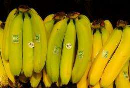 Researchers unravelled the genome of a wild Asian banana strain