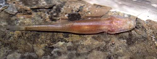 Blind, scaleless cave fish species discovered in Vietnam