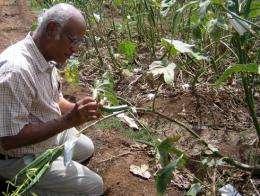 Entomologist helps Asian farmers fend off papaya mealybug