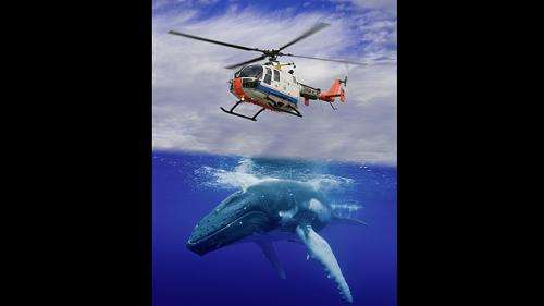 German engineers mimic humpback whale to increase helicopter stability