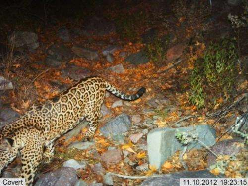 Wildlife Monitoring Cameras Click Jaguar and Ocelot Photos