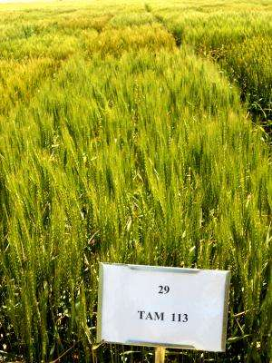 AgriLife Research update:  TAM 113 a complement to other TAM wheat varieties