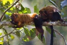 Brazil: Saving endangered monkey helps forest
