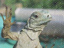 Cayman's imperiled blue iguanas on the rebound