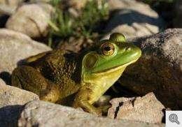 Global bullfrog trade spreads deadly amphibian fungus worldwide