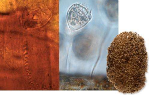 Researchers find fossilized ciliate in 200 million year old leech cocoon