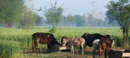 Scientists develop crop for livestock in dry climates