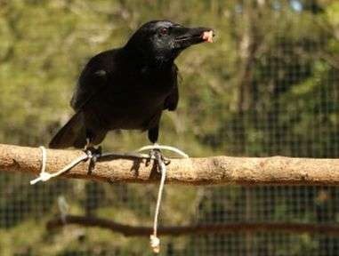Crows do not plan their clever tricks