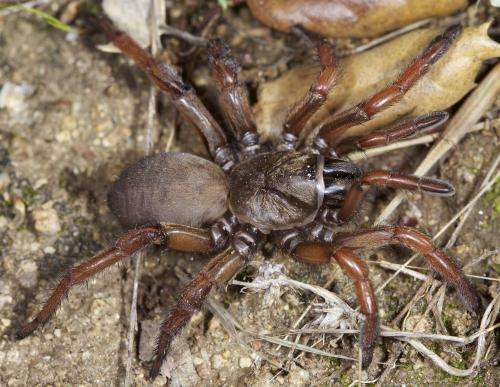33 new trapdoor spider species discovered in the American southwest