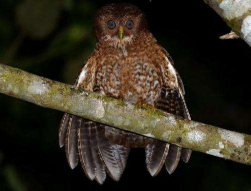 A new species of owl discovered in the Philippines this year