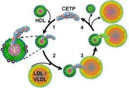 Researchers find new evidence on how cholesterol gets moved from HDLs to LDLs