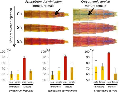 Researchers discover molecular basis for body-color change in red dragonflies