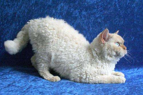 Scientists present  genetic analysis of  Selkirk Rex cats