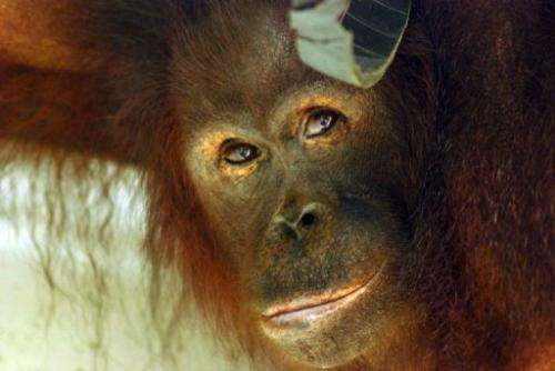 About 50,000 to 60,000 of the two species of orangutans are estimated to be left in the wild
