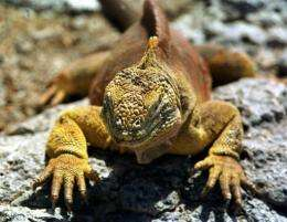 A German tourist has been arrested for allegedly trying to smuggle four endangered iguanas out of the Galapagos Islands