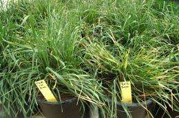 AgriLife Research study shows temperatures may change disease resistance in wheat