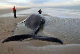 A handhout photo on December 13, 2012, shows a humpback whale stranded on a sandbank near an island in the Netherlands
