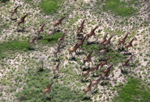 A herd of giraffe running through the Bandiglio National park