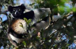 A male Indri Indri Lemur looks from a tree as he feeds on leaves in a Primary forest of a nature reserve in Andasibe