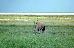 An antelope in the Etosha National park in Namibia