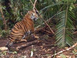 An endangered Sumatran tiger that was rescued from a wire trap on Monday, has died from its injuries