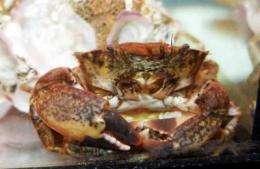 A new invading sea crab reaches the Ebro Delta