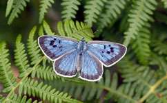 Ant identification boosts blue butterflies