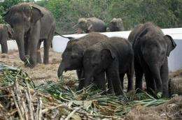 AP Exclusive: New taste for Thai elephant meat (AP)