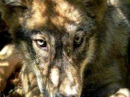 APNewsBreak: US appeals court allows wolf hunts (AP)