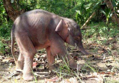 A pygmy elephant calf on Borneo island, in Malaysia's Sabah state