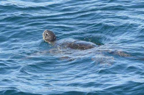 A sea turtle swims on December 8, 2012 in Pinzon Island