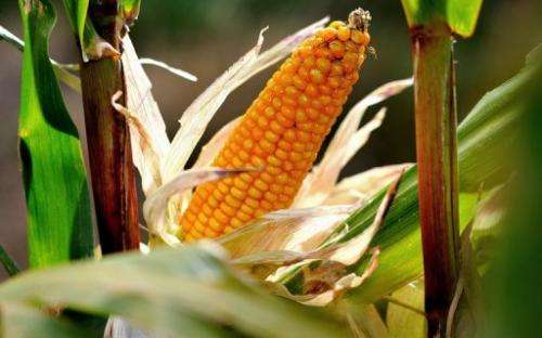 A study linking maize to cancer contains 'defects' says the EU