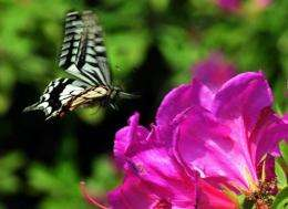 A swallowtail butterfly flies above azaleas in bloom in May 2012
